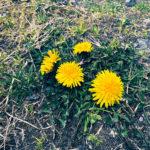 たんぽぽの花。