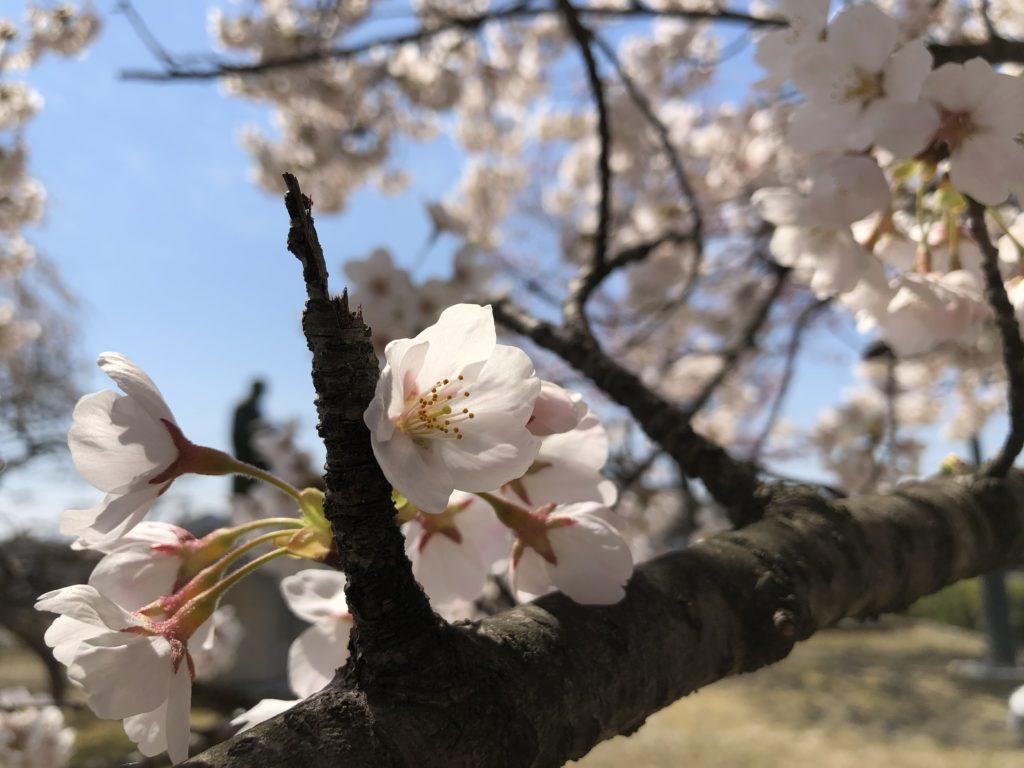 桜2020。
