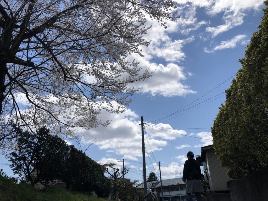 家族で散歩。桜がキレイ。